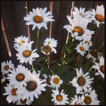 white daisies on a wood panel background